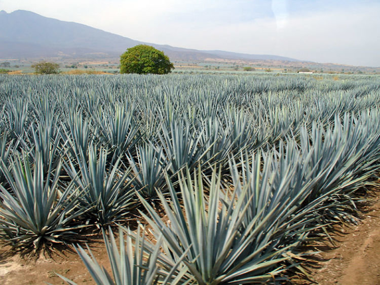 Industria tequilera produjo 351.7 litros de tequila durante 2019